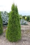 Säulen Lebensbaum